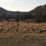 A herd of elk grazing
